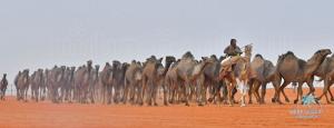 تتويج الفائزين في المراكز الأولى في فئة (100 جمل .. صفر ) بمهرجان الملك عبدالعزيز للإبل